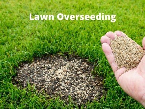 Lawn overseeding